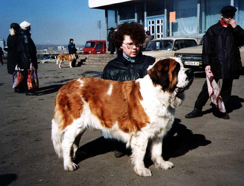 Сенбернар - очень крупная собака, крепкая и мускулистая.